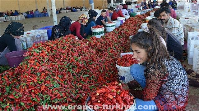 تركيا.. صادرات مسحوق الفلفل الحار تحقق نحو 5 ملايين دولار
